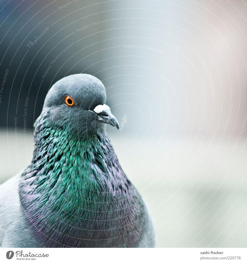 stadtvogel Tier Vogel Taube Tiergesicht Feder 1 grau grün violett schwarz Quadrat blau Schnabel Auge orange schimmern weiß Farbfoto Gedeckte Farben