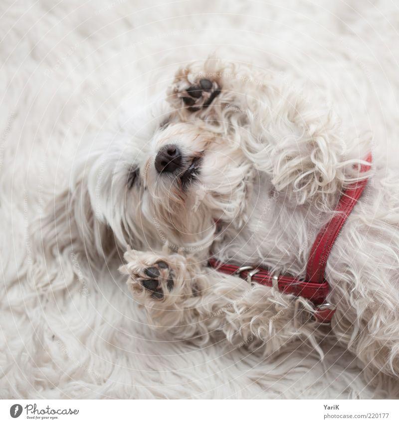 gähhhhn Tier Haustier Hund 1 genießen liegen schlafen Akzeptanz Vertrauen Sicherheit Geborgenheit Sympathie Erholung Gelassenheit Teppich Fell weiß Pfote
