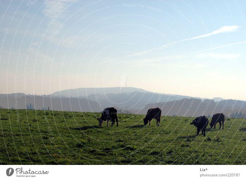 es ist schön ... Natur ruhig Tier Ferne Erholung Berge u. Gebirge Freiheit Landschaft Feld Umwelt Horizont Frieden Idylle Gelassenheit Landwirtschaft Kuh