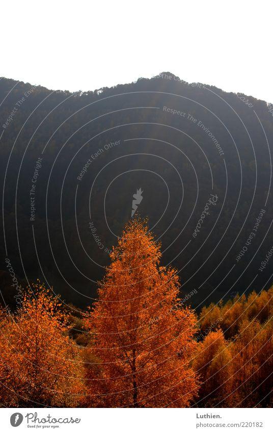 Sunshine Natur Sonnenlicht Herbst Baum Wald Gefühle Sonnenstrahlen Beleuchtung gold rot schwarz Farbfoto Außenaufnahme Menschenleer Textfreiraum oben Tag Licht