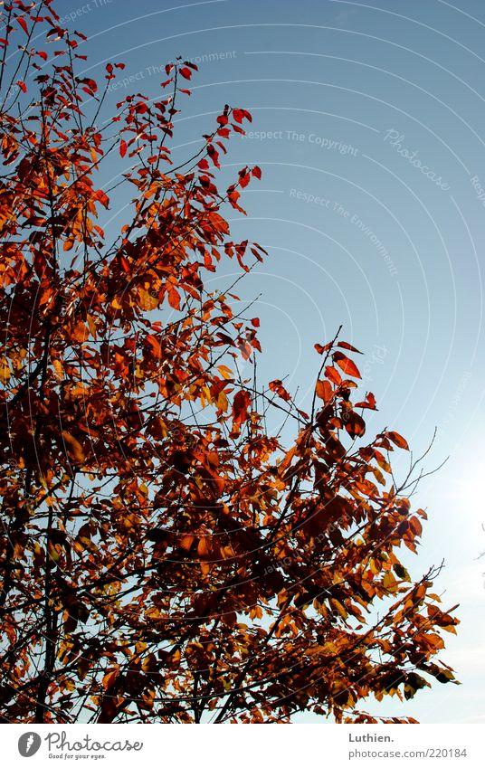 Blattwerk Natur Himmel Baum blau rot Herbst Wachstum Schönes Wetter Baumkrone Blauer Himmel vertrocknet Herbstlaub Zweige u. Äste Herbstfärbung