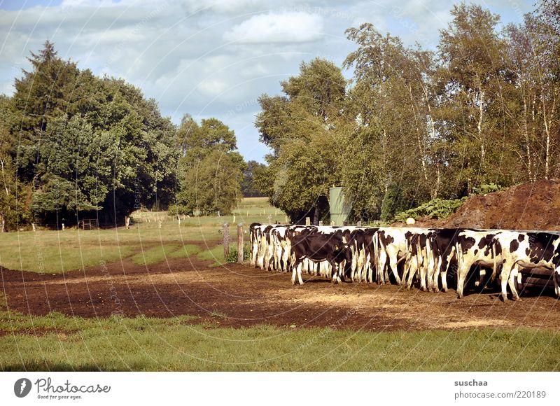 friesische kühe Natur Himmel Baum Sommer Wolken Gras Wetter Tiergruppe Kuh Weide Schönes Wetter Fressen Landwirtschaft Rind füttern Herde