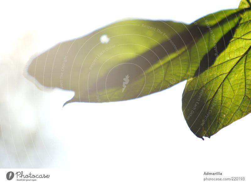 Sommerlicht weiß grün Pflanze Blatt Gefühle Stimmung hell authentisch nah einzigartig natürlich Blattadern Grünpflanze