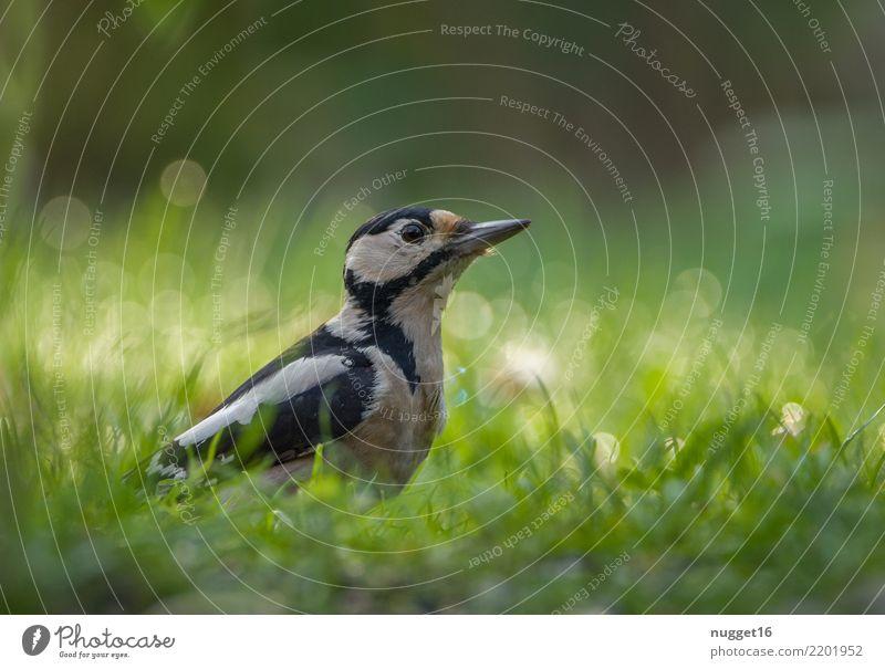 Buntspecht Umwelt Natur Tier Frühling Sommer Herbst Schönes Wetter Pflanze Gras Garten Park Wiese Wald Wildtier Vogel Tiergesicht Flügel Specht 1 ästhetisch