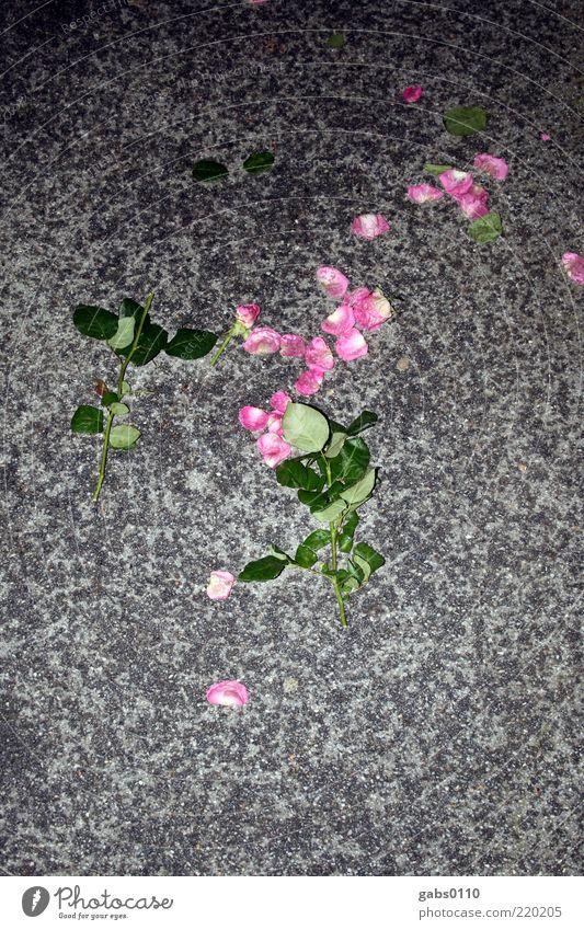 trauriger abend grün Blume Blatt Einsamkeit schwarz Liebe Straße dunkel grau Blüte rosa trist Rose Trauer fallen Blühend