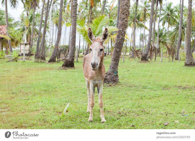 Maultierporträt, Sri Lanka Natur Ferien & Urlaub & Reisen Landschaft Erholung Tier ruhig Tourismus Idylle Postkarte Asien Paradies Palme friedlich Esel