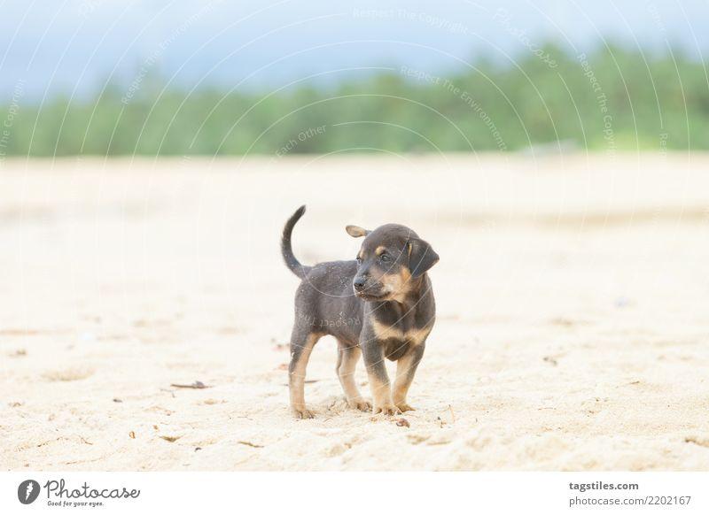 Welpe am Strand von Kalpitiya, Sri Lanka Natur Ferien & Urlaub & Reisen Hund Sommer Sonne Landschaft Erholung Küste Tourismus Freiheit Sand Idylle