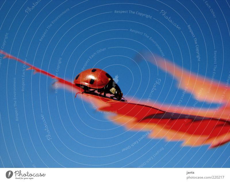 Rot & Blau schön Himmel blau rot ruhig Blatt Glück natürlich Gelassenheit Wildtier Käfer Marienkäfer krabbeln Insekt Glücksbringer