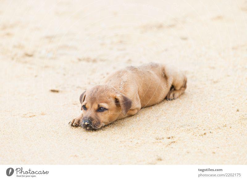 Welpe, der am Strand, Sri Lanka sich entspannt Kalpitiya Hund Asien Ferien & Urlaub & Reisen Idylle Freiheit Postkarte Tourismus Sonne Sonnenstrahlen Sommer