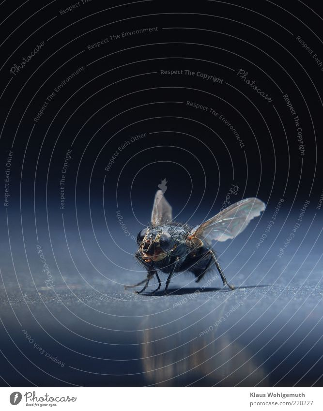 Blickkontakt schwarz Tier braun Fliege Flügel Insekt bewegungslos Makroaufnahme Facettenauge Totes Tier