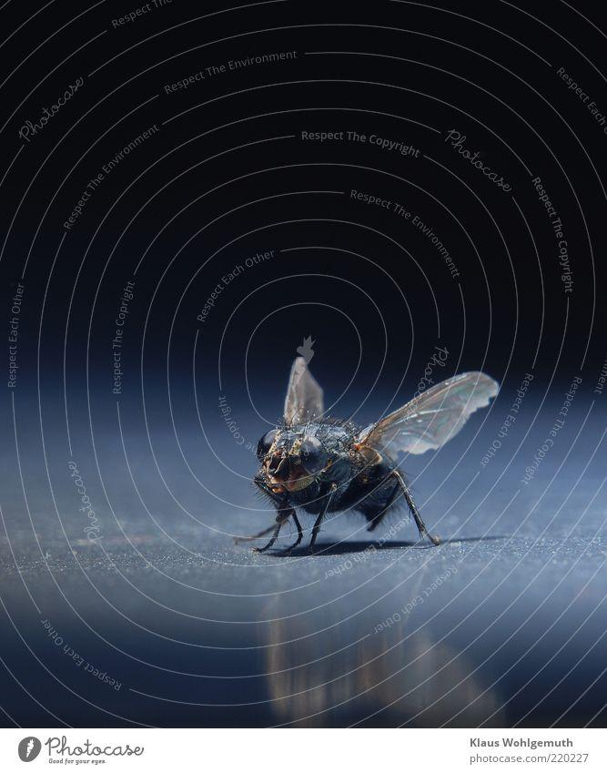 Blickkontakt Tier Totes Tier Fliege 1 braun schwarz Flügel Insekt Facettenauge Farbfoto Studioaufnahme Makroaufnahme Menschenleer Hintergrund neutral