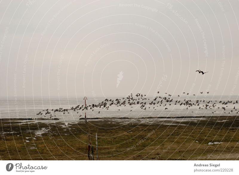 Aufbruchstimmung Natur Landschaft Himmel Wolken schlechtes Wetter Küste Nordsee Meer Deich Nordfriesland Tier Vogel Schwarm fliegen Beginn Horizont Abheben