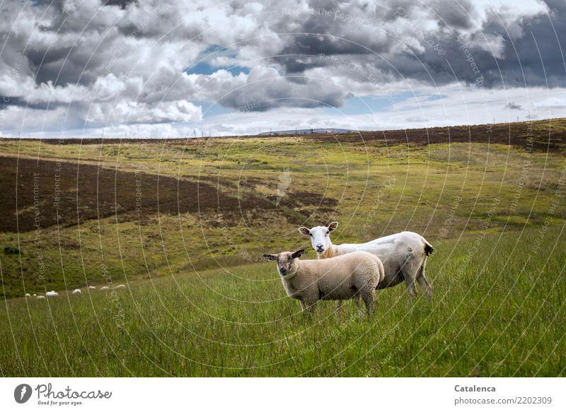 Schauende Schafe Natur Landschaft Pflanze Tier Wolken Horizont Sommer Gras Sträucher Bergheide Wiese Moor Nutztier 2 Tiergruppe beobachten Fressen natürlich