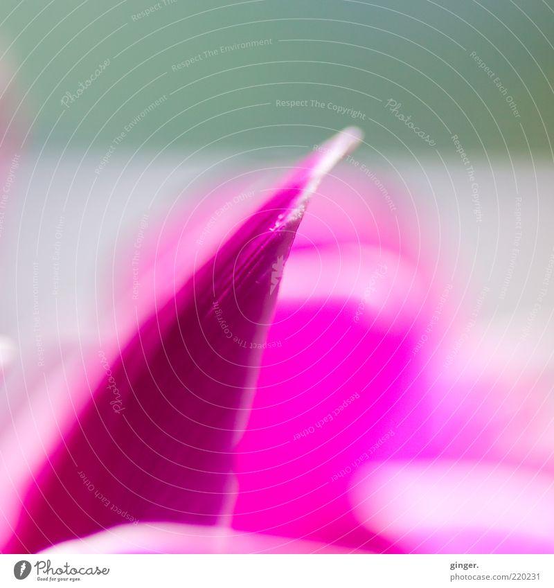 Spitzen-Pink Pflanze Blume Blüte rosa weiß Blütenblatt knallig aufwärts Kontrast Alpenveilchen Unschärfe Menschenleer Farbfoto Innenaufnahme Nahaufnahme