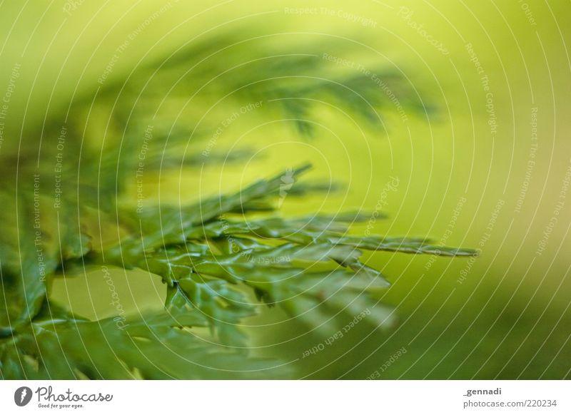 Nachhaltigkeit Umwelt Natur Pflanze Frühling Nadelbaum Tannennadel frisch grün einzigartig nachhaltig ökologisch Grüner Daumen natürliche Farbe authentisch