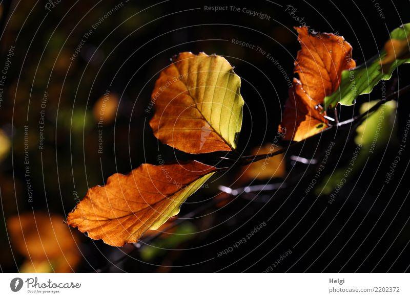 Herbstfärbung Umwelt Natur Pflanze Baum Blatt Zweig Wald leuchten dehydrieren authentisch einzigartig natürlich braun gelb grün schwarz Stimmung ruhig