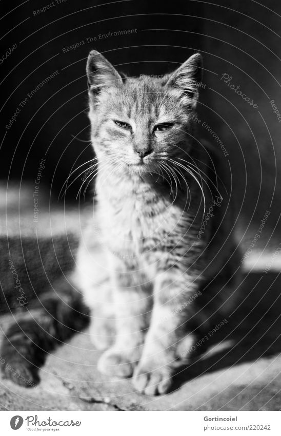 Würde ruhig Tier Katze Tierjunges elegant sitzen ästhetisch Stolz demütig Schnurrhaar Schnurren freilebend Katzenauge Katzenpfote Katzenkopf Katzenohr