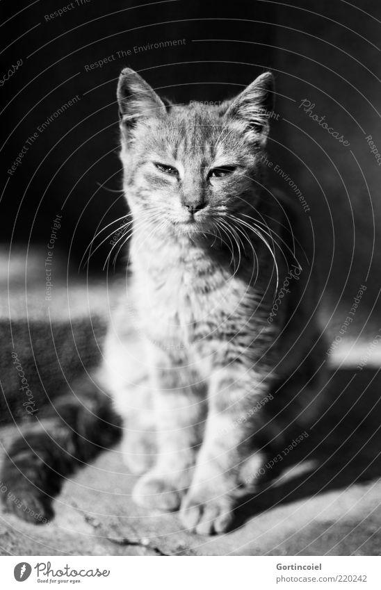 Würde Tier Katze 1 ästhetisch elegant demütig Stolz Katzenkopf Katzenpfote Katzenohr Katzenauge Schnurrhaar Tierjunges freilebend sitzen ruhig Schnurren
