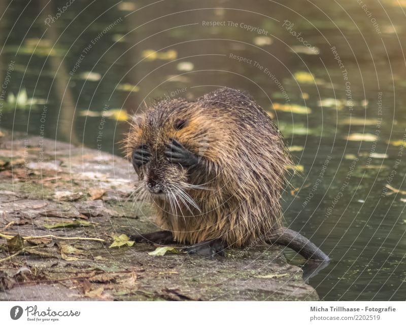 Nicht mehr hinsehen können Natur Tier Wasser Schönes Wetter Blatt Seeufer Flussufer Teich Wildtier Tiergesicht Fell Pfote Bisamratte Nagetiere 1 sitzen