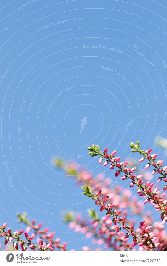 Himmel und Erika Pflanze Wolkenloser Himmel Heidekrautgewächse Bergheide Wachstum blau grün violett rosa Farbfoto Nahaufnahme Detailaufnahme Menschenleer