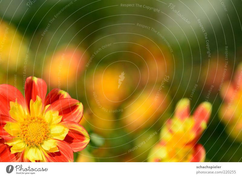 oben rechts is nix Natur Pflanze Blume Blüte Freundlichkeit hell Wärme gelb grün rot Leben Dahlien Blütenblatt hellgelb Farbfoto mehrfarbig Außenaufnahme