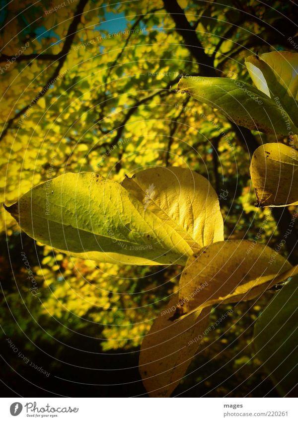 Herbstgold Natur alt Sonne Pflanze Blatt gelb Umwelt ästhetisch nah einzigartig Idylle leuchten Optimismus Blattadern