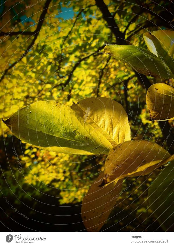 Herbstgold Natur alt Sonne Pflanze Blatt gelb Herbst Umwelt gold ästhetisch nah einzigartig Idylle leuchten Optimismus Blattadern