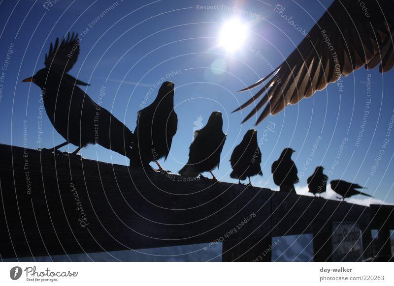 Die Vögel (Remake) Himmel Sonne blau schwarz Tier Herbst Berge u. Gebirge Vogel sitzen Tiergruppe Feder Flügel Alpen Gipfel Schönes Wetter Geländer