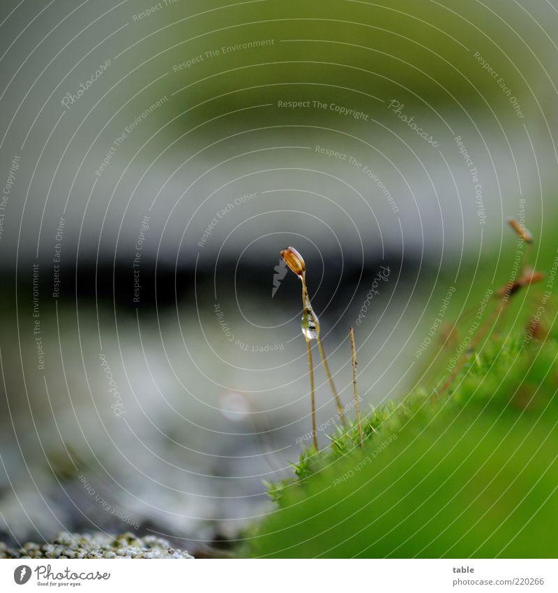 nass Umwelt Natur Pflanze Wassertropfen Klima Moos Grünpflanze Wildpflanze glänzend Wachstum grau grün schwarz feucht vertikal einzeln Feuchtgebiete Farbfoto