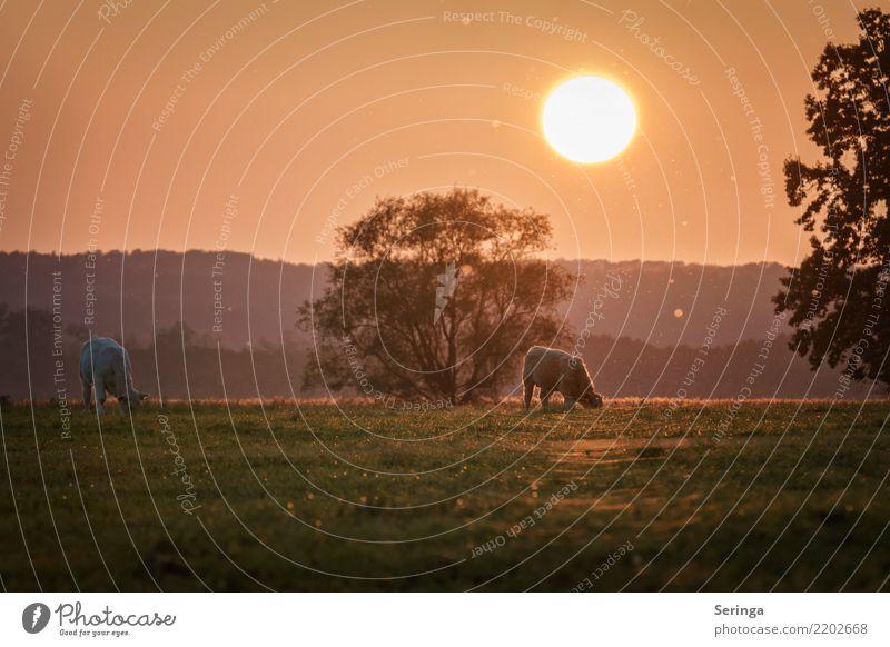 Untergang der Herbstsonne Natur Pflanze Sonne Landschaft Tier Umwelt Wiese Tierpaar glänzend Schönes Wetter Tiergruppe beobachten Weide Haustier Fell