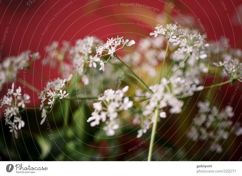 Bluemsche für bitti Umwelt Natur Pflanze Blume Blatt Blüte Wildpflanze Duft Freundlichkeit rot weiß Lebensfreude Optimismus festlich Freudenspender Blumenstrauß