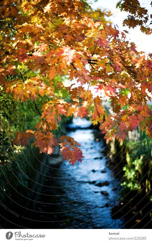 Der Bach und seine Flora Umwelt Natur Landschaft Pflanze Wasser Sonnenlicht Herbst Schönes Wetter Baum Sträucher Blatt Grünpflanze Wildpflanze Fluss leuchten