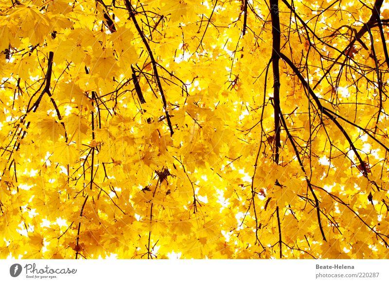 Leuchtende Herbstkraft Natur Baum gelb Gefühle Stimmung hell gold ästhetisch Wachstum Sauberkeit einzigartig leuchten Zweig Optimismus strahlend Herbstlaub