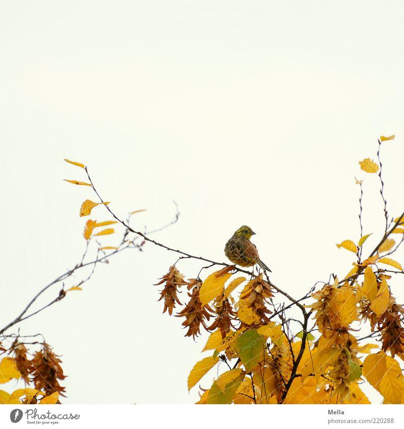 Novembervogel Natur Baum Pflanze Blatt Tier gelb Herbst hell Vogel klein Umwelt Zeit frei sitzen Ast natürlich