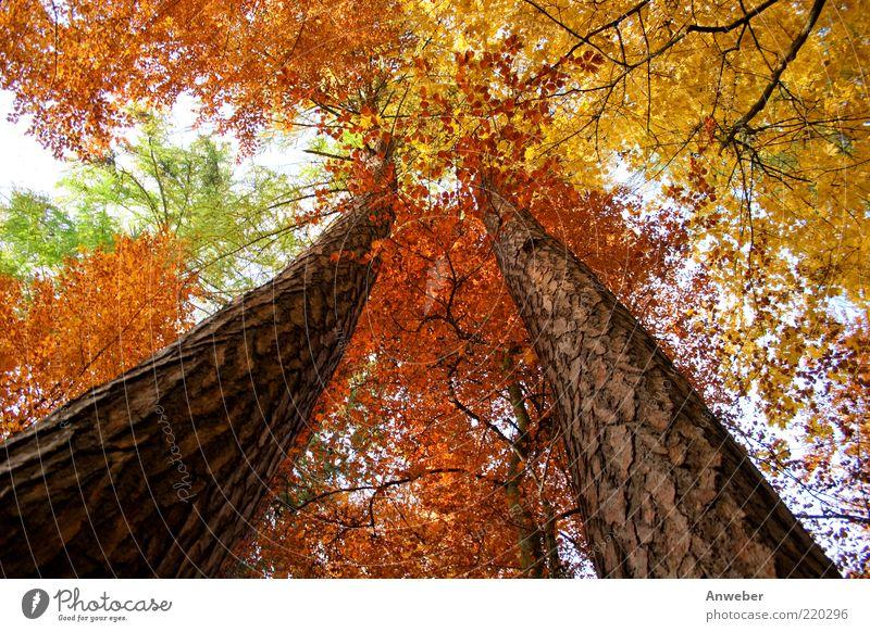 Himmelwärts im Herbst Umwelt Natur Pflanze Wetter Schönes Wetter Baum Wald ästhetisch außergewöhnlich braun mehrfarbig gelb gold grün rot weiß Kiefer Nadelbaum