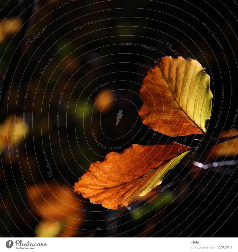 drunter und drüber | leuchtende Blätter Umwelt Natur Pflanze Herbst Schönes Wetter Baum Blatt Buche Buchenblatt Blattadern Herbstlaub Zweig Wald dehydrieren