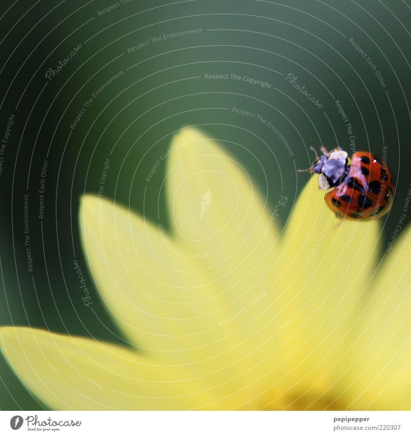 einen sommer lang Natur Blume grün Pflanze Sommer Blatt Tier gelb Blüte glänzend Blühend Duft Schönes Wetter Käfer Marienkäfer hocken