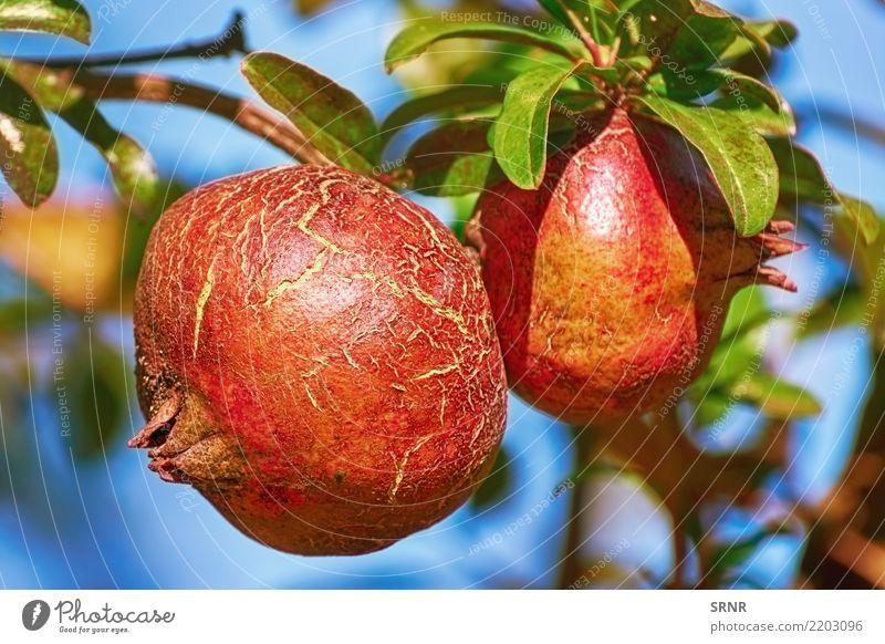 Frucht von Punica Granatum Lebensmittel Essen Vegetarische Ernährung Diät Gesunde Ernährung Pflanze saftig essbare Früchte Granatapfel Punica granatum Granate
