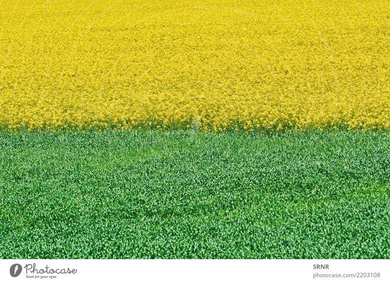 Natur Pflanze Landschaft Umwelt Wiese Wachstum Rasen Ackerbau ökologisch ländlich Großgrundbesitz Weizen