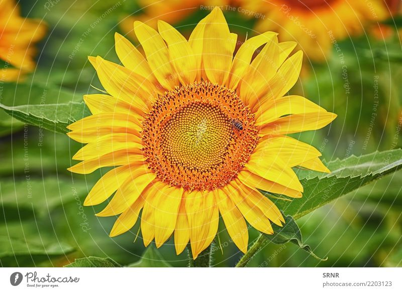 Blühende Sonnenblume schön Sommer Garten Kultur Umwelt Natur Landschaft Pflanze Blume Blüte Wachstum hell natürlich gelb Farbe Ökosystem ökologisch geblümt