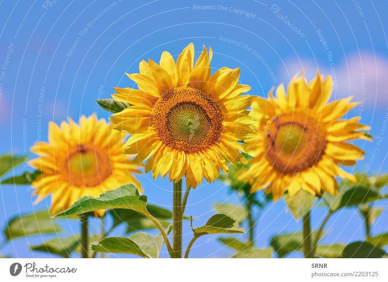 Blühende Sonnenblumen schön Sommer Garten Kultur Umwelt Natur Landschaft Pflanze Blume Blüte Wachstum hell natürlich gelb Farbe Ackerbau Beautyfotografie