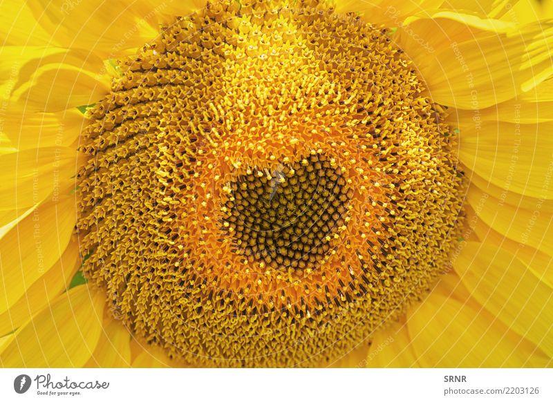 Blühende Sonnenblume Natur Pflanze Sommer Farbe schön Landschaft Blume gelb Umwelt Blüte natürlich Garten hell Wachstum Kultur Jahreszeiten