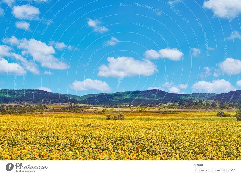 Feld von Sonnenblumen Berge u. Gebirge Umwelt Natur Pflanze Blume Blüte Blühend Ackerbau Ökosystem ökologisch landwirtschaftliche Fläche