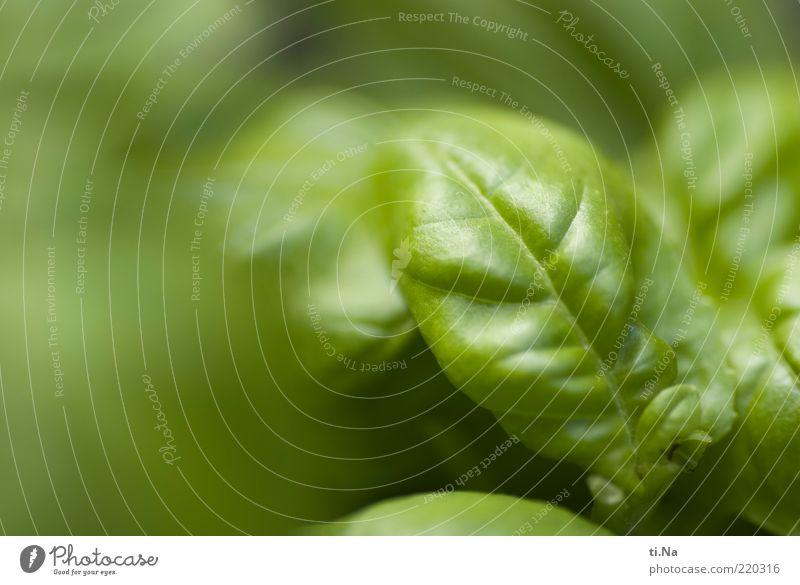 Genovese die Zweite Lebensmittel Kräuter & Gewürze Ernährung Bioprodukte Umwelt Natur Sommer Pflanze Nutzpflanze exotisch Basilikum Basilikumblatt Wachstum grün