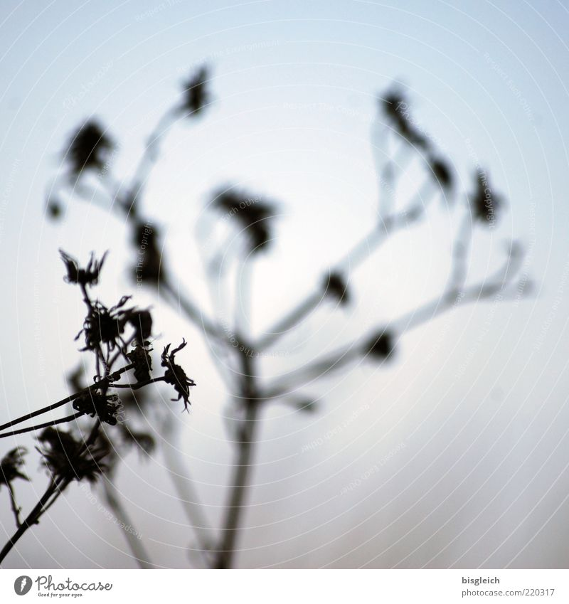 Schattengewächs Himmel blau Pflanze Winter kalt Herbst Blüte Wachstum Vergänglichkeit Dürre vertrocknet Schattenspiel Unschärfe dehydrieren Schattenseite