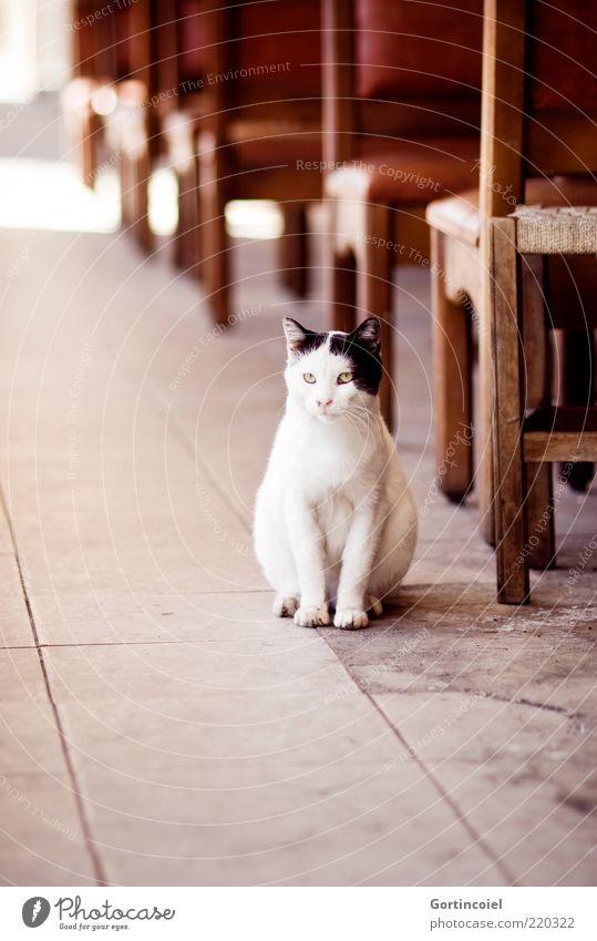 Geduld Tier Katze Tiergesicht Pfote 1 geduldig Katzenkopf Straßencafé Stuhl warten weiß schwarz Fell Straßenkatze Herumtreiben Farbfoto Außenaufnahme