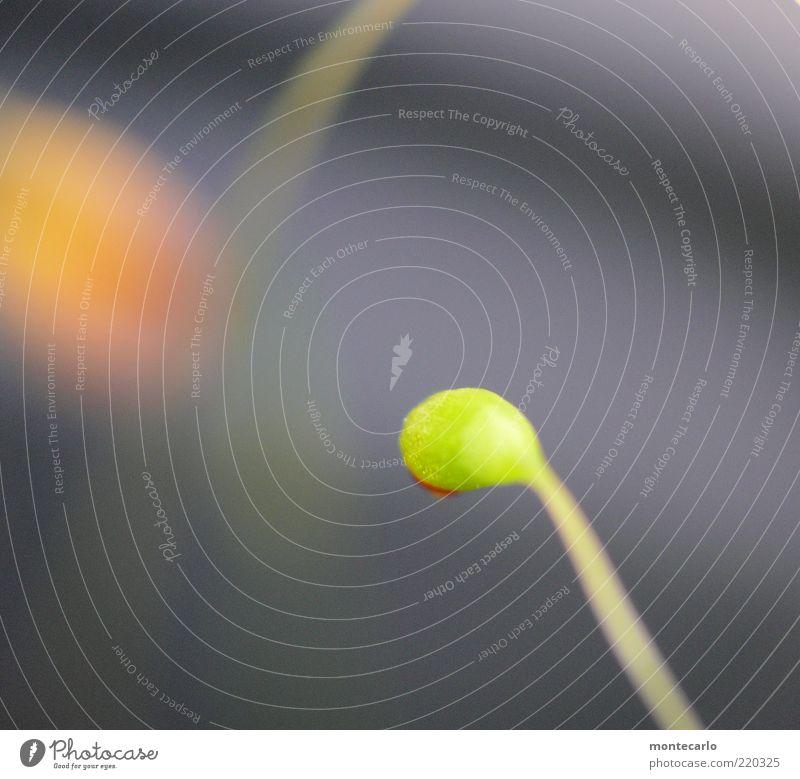 Moosblüte Natur Pflanze Grünpflanze Farbfoto Außenaufnahme Makroaufnahme Tag Starke Tiefenschärfe grün Trieb Hintergrund neutral Menschenleer Jungpflanze