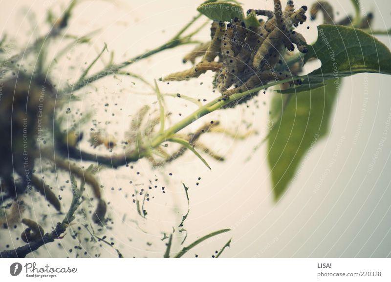 die kleinen raupen nimmersatt grün Pflanze Sommer Blatt Tier gelb grau braun Tiergruppe Sträucher Stengel Wildtier Fressen Raupe Jahreszeiten Tierjunges