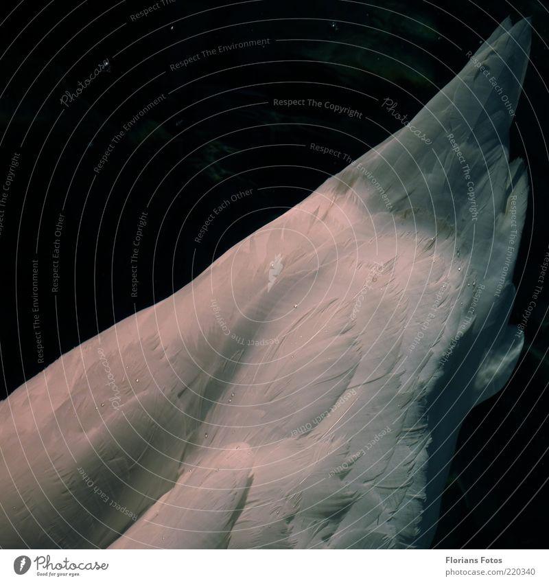 Der Schwanenkiel schön weiß blau schwarz Tier träumen Stimmung Kraft Vogel elegant Sicherheit ästhetisch authentisch Feder einfach