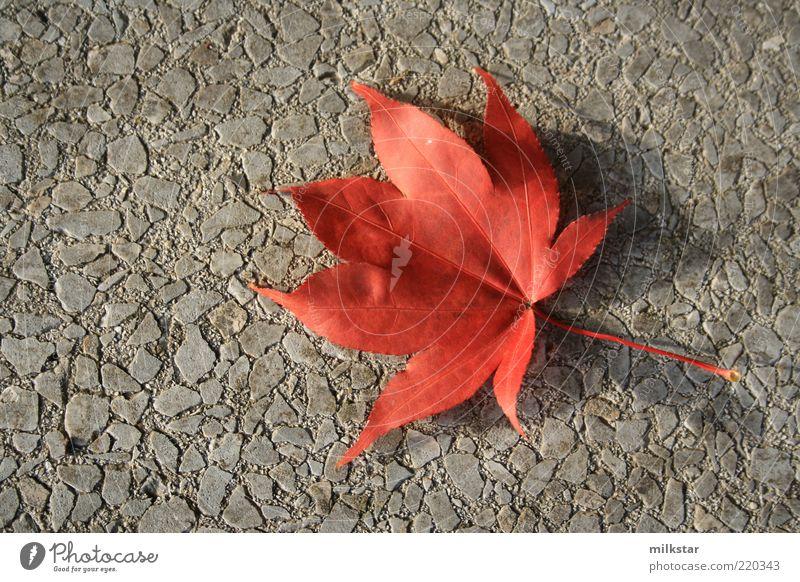 Red vs. grey Natur rot Pflanze Blatt ruhig Herbst Wandel & Veränderung Vergänglichkeit einzeln harmonisch November Oktober Herbstlaub gefallen Wildpflanze Zyklus